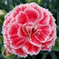 Cravina Rendada Anã Dobrada Sortida: 15 Sementes