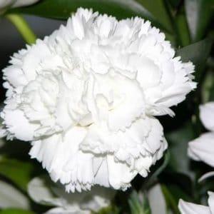 Cravo Branco: 15 Sementes