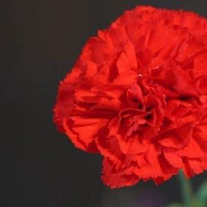 Cravo Vermelho: 15 Sementes