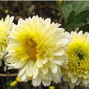 Crisântemo Amarelo, Creme e Branco: 15 Sementes