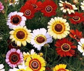 Crisântemo Carinatum: 20 Sementes