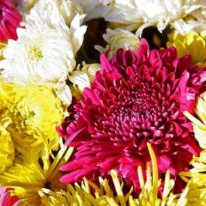 Crisântemo Dobrado Sortido: 15 Sementes