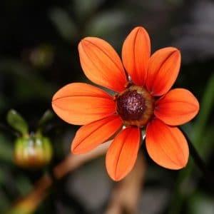 Dália Singela Sortida: 15 Sementes