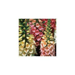 Dedaleira (Digitalis) Sortida: 50 Sementes