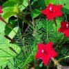 Esqueleto Vermelho: 10 Sementes