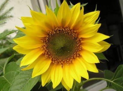 Girassol Alto de Jardim: 10 Sementes