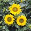 Girassol Anão de Jardim: 10 Sementes