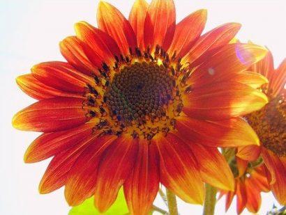 Girassol Bonito de Outono: 10 Sementes