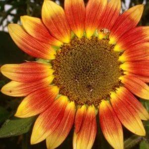 Girassol Sol Noturno: 10 Sementes