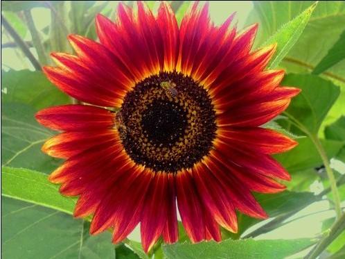Girassol Sol Vermelho: 10 Sementes