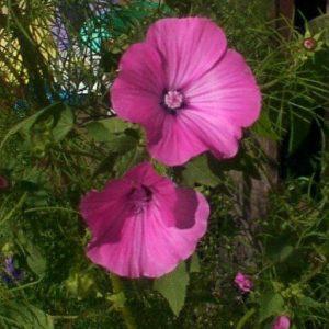 Malva Rosa: 15 Sementes