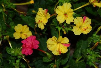 Maravilha do Peru Sortida: 15 Sementes