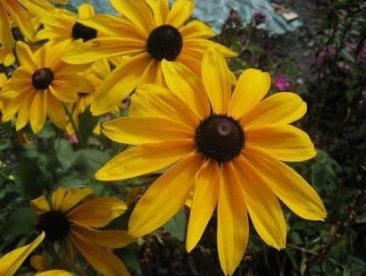 Margarida Amarela: 20 Sementes