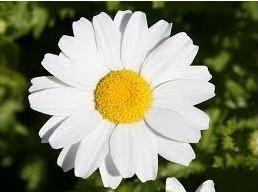 Margarida Gigante Branca: 20 Sementes