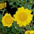 Margaridinha Amarela: 20 Sementes