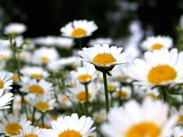 Margaridinha Branca: 20 Sementes