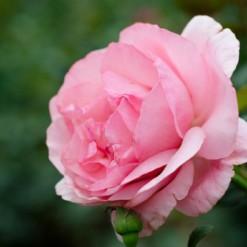 Mini Rosa: 10 Sementes