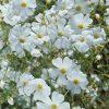 Mosquitinho Branco (Gypsophila): 20 Sementes