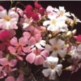 Mosquitinho Sortido (Gypsophila): 20 Sementes