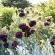 Papoula Black Peony: 20 Sementes