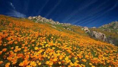 Papoula da Califórnia: 20 Sementes