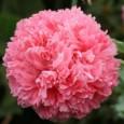 Papoula Pink Peony: 20 Sementes