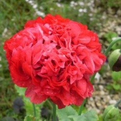 Papoula Red Peony: 20 Sementes