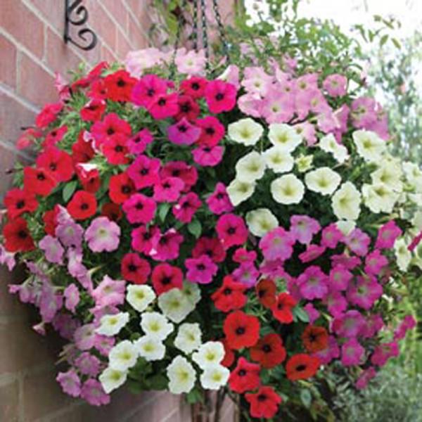 Pet nia nana compacta 50 sementes soflor sementes - Planta verbena cuidados ...
