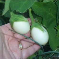 Planta Ovo: 10 Sementes