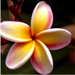 Plumeria Abricó: 5 Sementes