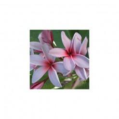 Plumeria Lilás: 5 Sementes