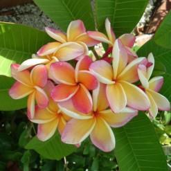 Plumeria Pêssego: 5 Sementes