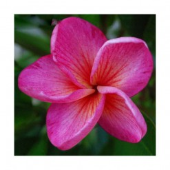 Plumeria Rosa: 5 Sementes