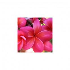 Plumeria Vermelha: 5 Sementes