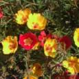 Portulaca Singela Sortida: 20 Sementes