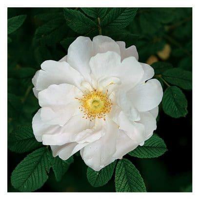 Rosa Japonesa Branca: 10 Sementes