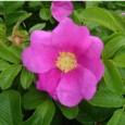 Rosa Japonesa Father: 10 Sementes