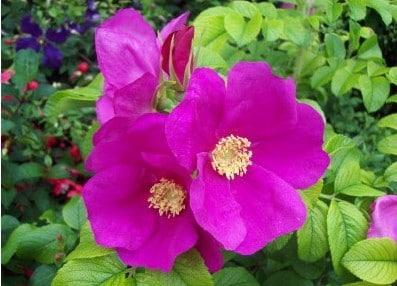 Rosa Japonesa Pink: 10 Sementes