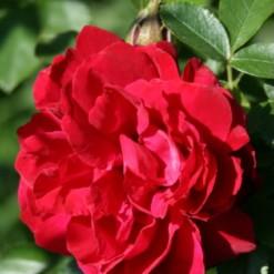 Rosa Japonesa Vermelha: 10 Sementes