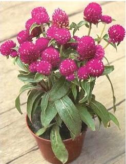 Comprar Sementes da Flor Perpétua