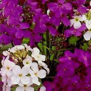 Comprar Sementes de Juliana-dos-Jardins