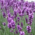 Comprar Sementes de Lavanda (Alfazema): 15 Sementes