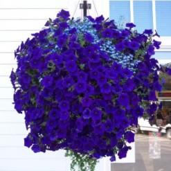 Sementes de Petúnia Azul