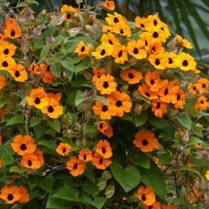 Thumbergia (Amarelinha): 10 Sementes