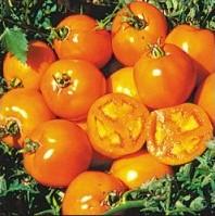 Tomate Golden Sunray: 20 Sementes