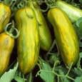 Tomate Green Sausage: 20 Sementes