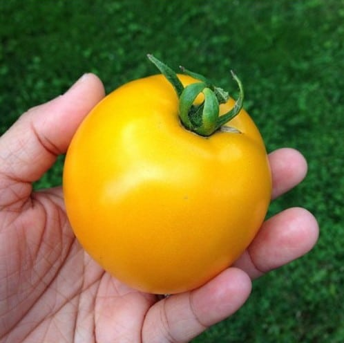Tomate Lemon Boy: 20 Sementes