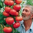 Tomate Triple L Crop: 20 Sementes