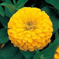 Zinnia Amarela Gigante da Califórnia: 15 Sementes