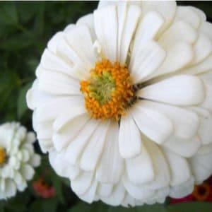 Zinnia Branco Gigante da Califórnia: 15 Sementes